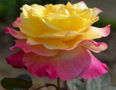 Yellow Pink by Nishidha Patil, via 500px