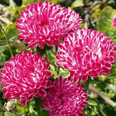 """Aster red ribbon - annual, summer till fall, 10"""" (seeds)"""