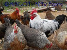 Dorking chicken breed