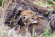 Wild baby rabbits in a nest
