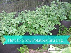 How to Grow Potatoes in a Bag from @Anna @GreenTalk