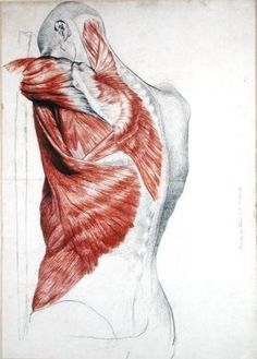 Human Anatomy: Muscles of the Torso and Shoulder by Pierre Jean David d'Angers