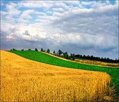 Yellow carpet (Katarina 2353) Tags: blue sky white green film nature clouds landscape photography countryside nikon europe flickr image horizon serbia paisaje fields agriculture paysage cereals priroda mothernature vojvodina srbija banat tjkp pesaggio pejza filmanalog katarinastefanovic katarina2353