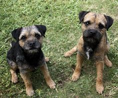 Exciting, ground-breaking research that legitimises CECS, a condition found in border terriers. Border Terriers For Sale, Border Terrier Puppy, Baby Dogs, Dogs And Puppies, Doggies, Border Terrier Welpen, Cute Boarders, Funny Dogs, Cute Dogs