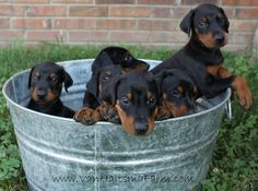 Bucket full of love - our precious European Pedigreed Doberman puppies - prior to getting their ears cropped