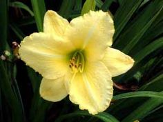 Daylily Atlanta Moonlight