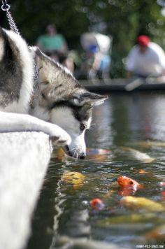 Siberian Husky watching koi in a pond.