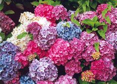 I've never seen such a mixture of pH levels in soil in one place before! Hydrangeas rock.