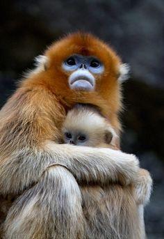   Golden Snub-nosed Monkeys, Qinling Mountains -...