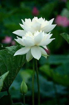 268 Best White Rose : White Lotus images | White lotus, Rose, Lotus