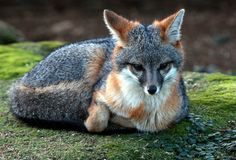 foxes | Red foxes are alot more common than the gray Fox but the gray fox can ...