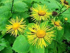Iarba Mare – Planta Bolilor Ginecologice | La Taifas