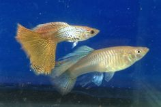 Male and female guppy fish