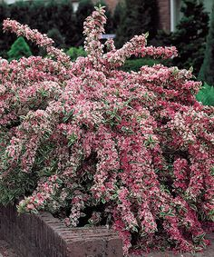 Pink Splash Variegated Weigela Plant This vibrant and colorful pink plant grows into a gracefully arching shrub with dense, funnel-like blooms that flourish from late spring through summer into fall. The striking foliage of this showy shrub adds instant elegance to your garden.  -Grows to approx. 60'' H - Perennial Bloom time: June to August - Full sun to partial shade Hardy in zones 4 to 9