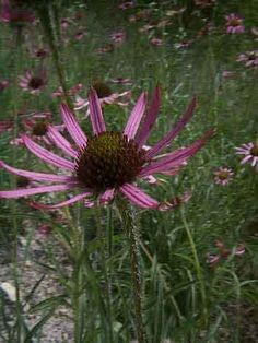 Tennessee Cone Flower -- Field Guide to the Limestone Cedar Glades