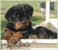 Rottweilers...so cute!