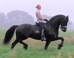The Beautiful Friesian Horse