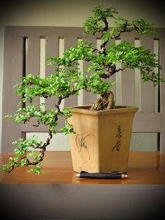 บอนไซ bonsai shohin mame miniature