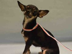 SUPER URGENT *SICK URGENT!!** STOPPED EATING 3 DAYS AGO, TODAY TREMBLING AND NECK TURNED TO LEFT, STIFF,..MAYA – A1101904 FEMALE, BLACK / TAN, CHIHUAHUA SH MIX, 4 yrs OWNER SUR