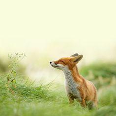 freeios7.com_apple_wallpaper_fox-feeling-spring_ipad_retina_parallax.jpg (2448×2448)