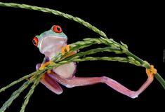 Żaba, Chwytnica kolorowa, Roślinka