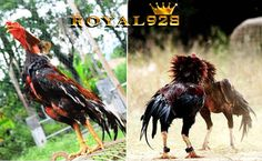 ayam aduan pakhoy super Rooster, Animals, Birds, Animales, Animaux, Animal, Animais, Chicken