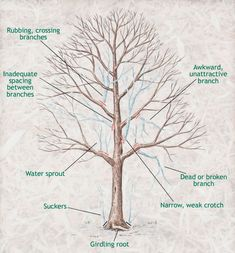 When to Prune Trees- wait until the coldest part of winter has passed, but before vigorous growth starts in early spring, February to March. Garden Trees, Lawn And Garden, Garden Plants, Pruning Fruit Trees, Tree Pruning, How To Prune Trees, Pruning Plants, Prune Fruit, Gardening Gloves
