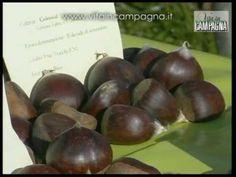 La conservazione delle castagne fresche