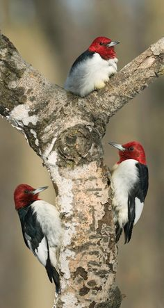 Red-Headed Woodpeckers, I would love to see these in the yard, but NOPE.
