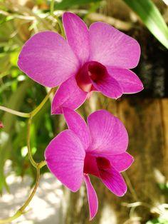 Orquídea - Euzébio - Ceará - Brasil