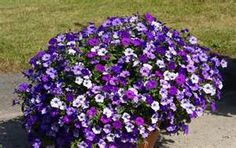 wave petunias flowers - - Yahoo Image Search Results