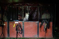 """IlPost - Il cavallo Ulisse prima della sua esibizione durante lo spettacolo del """"Mr Fips 'Wonder Circus"""", un piccolo circo a conduzione familiare, ad Huntingdon, in Inghilterra (Mary Turner / Getty Images) - Il cavallo Ulisse prima della sua esibizione durante lo spettacolo del """"Mr Fips 'Wonder Circus"""", un piccolo circo a conduzione familiare, ad Huntingdon, in Inghilterra (Mary Turner / Getty Images)"""
