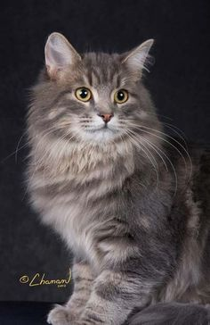 Siberian Cat This looks just like our Mandy...