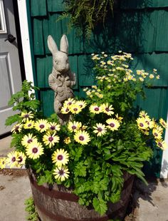 The whiskey barrels by the garage are filled with yellow this summer - plus the volunteer herb chamomile and some Chinese forget-me-nots that are hesitant to reveal their dainty blue blossoms -  maybe the blue will appear next week ?