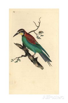 Bee-eater From Edward Donovan's Natural History of British Birds, London, 1809 Giclee Print by Edward Donovan at AllPosters.com