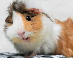 Guinea Pig.  Just being cute^^*