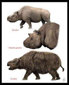 Nesodon, Trigodon and Toxodon, all mammals of the Miocene, late Pliocene and Pleistocene epochs from about 2.6 million to 16,500 years ago.   Nesodon was of the late Oligocene to Miocene epochs.