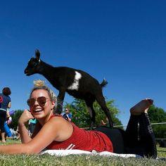 Goat yoga fad #sweeps #nation...