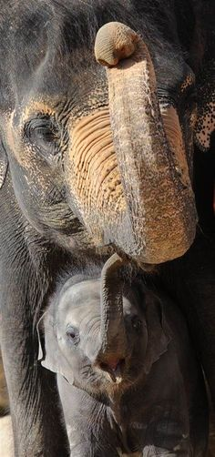 Elephant's Never Forget ~ Their Mommy's! All About Elephants, Elephants Never Forget, Save The Elephants, Baby Elephants, Image Elephant, Elephant Love, Funny Elephant, Animals And Pets, Baby Animals