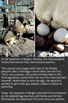 Gay penguins are now parents - Joindarkside