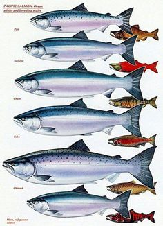 Know your Pacific salmon chart - adults and breeding males Fishing Fishing Life, Gone Fishing, Best Fishing, Kayak Fishing, Alaska Fishing, Trout Fishing Tips, Salmon Fishing, Fishing Knots, Pesca Spinning