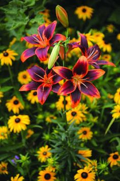 "These lilies are called Forever Susan and of course the ""daisies"" are Black-eyed Susans, or Rudbeckia."