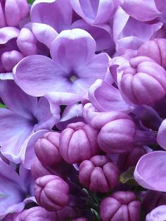 Lilacs are so fragrant!