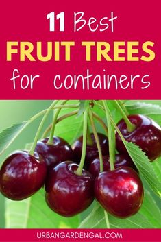 Small fruit trees look great growing in containers and pots If you haven t got much space in your yard and you d like to grow your own fruit why not try growing fruit trees in pots fruittrees containergardening gardening containergarden Small Fruit Trees, Fruit Trees In Containers, Dwarf Fruit Trees, Growing Fruit Trees, Growing Tree, Growing Plants, Indoor Fruit Trees, Fruit Tree Garden, Garden Trees