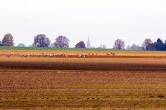 Kranichbeobachtungen auf den Feldern an der Müritz | Kraniche auf den Feldern bei Röbel (c) Frank Koebsch (1)