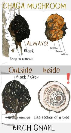 is a fully free informational Chaga mushroom guide. We cover topics like side effects, recipes (including Chaga tea), benefits and buying guides. Growing Mushrooms, Wild Mushrooms, Stuffed Mushrooms, Mushroom Guide, Mushroom Kits, Edible Wild Plants, Edible Mushrooms, Wild Edibles, Eat Fruit