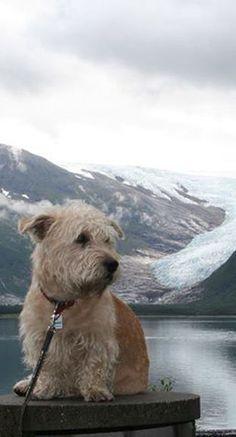 Glen of Imaal Terrier, EFG
