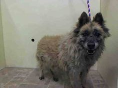 SUPER URGENT 1/7/15 Manhattan Center MIKE - A1024895 I am an unaltered male, cream and white Chow Chow mix. The shelter staff think I am about 8 years old. I weigh 55 pounds. I was found in NY 11434. I have been at the shelter since Jan 07, 2015. https://www.facebook.com/Urgentdeathrowdogs/photos/pb.152876678058553.-2207520000.1420663398./939058019440411/?type=3&theater