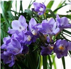Freesia+Hybrida+Bulbs+Indoor+Potted+Flowers+Orchids+Potted+Plant+roots+5+Bulbs