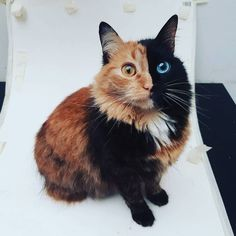 There's no such thing as an ugly cat. Well, at least cat lovers are sure about that. And since they constitute about half of the world's population, we can't ar Animals And Pets, Baby Animals, Funny Animals, Cute Animals, Pretty Cats, Beautiful Cats, Two Faced Cat, Ugly Cat, Hamster